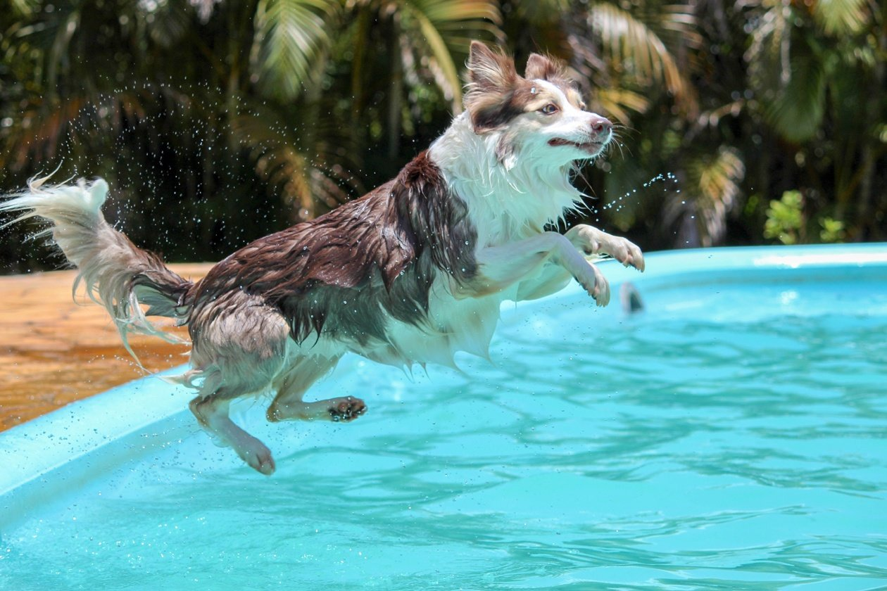 collie jumping in pool cooling your summer home